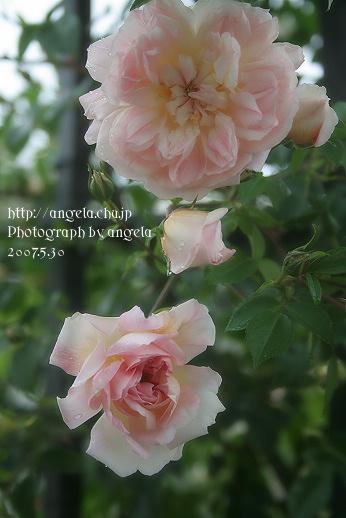 rose33.jpg
