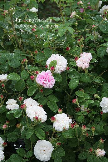 rose34.jpg