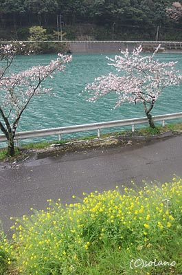 肥薩線、海路駅停車中に見た桜、菜の花と球磨川