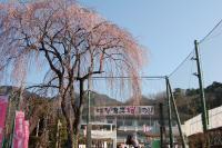 孝子桜-小学校入口