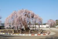 孝子桜-全景