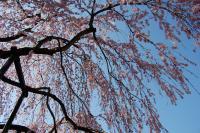 孝子桜-下から