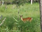 奥日光の小鹿
