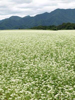 猿楽台地の蕎麦畑 (2009/09/02)