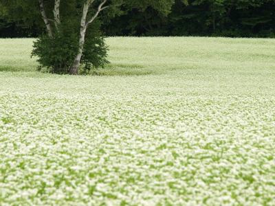 会津高原、高杖原の蕎麦畑@南会津町