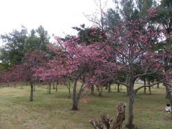 1.26桜3