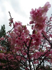 1.26桜2