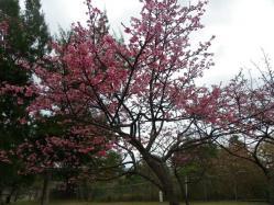1.26桜1