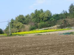 菜の花畑1