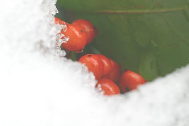 雪の向こうの千両の実