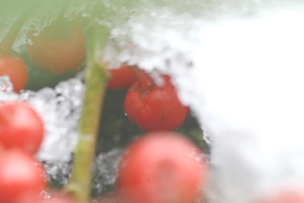 雪に隠れた千両の実