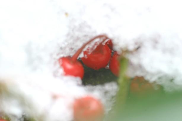 雪から顔を出す千両の実