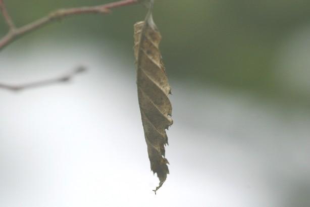 ケヤキの残り葉