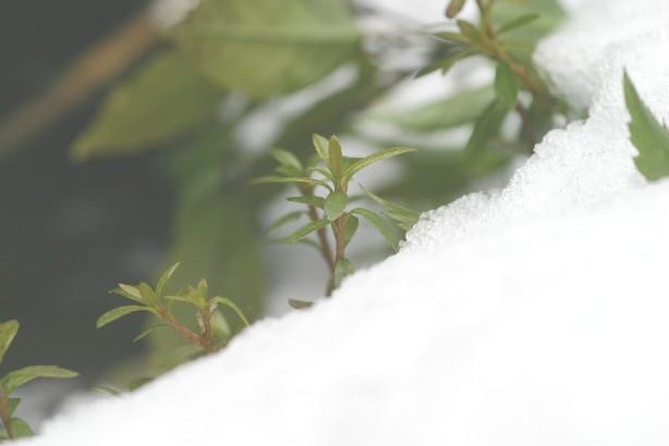 雪から顔を出すつつじ