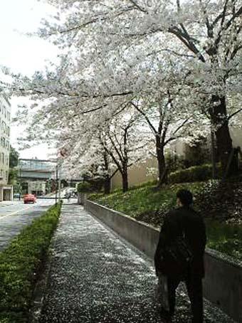 aoyamasakura.jpg