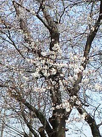 sakura_20120409101240.jpg