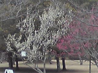 久峰公園 梅
