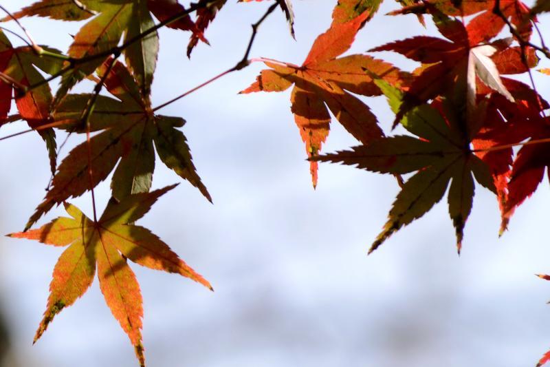 西条市小松町南川 栴檀山 香園寺 境内の黄葉