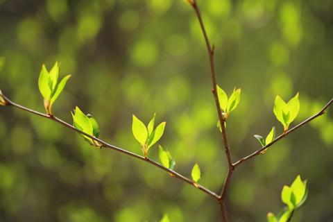 アブラチャン・芽吹き・春