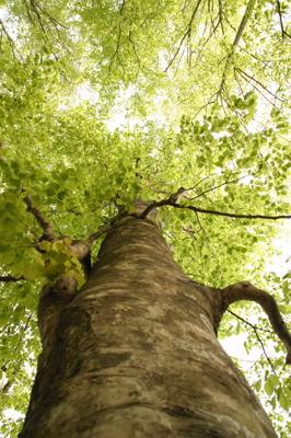 見上げるブナ大木5