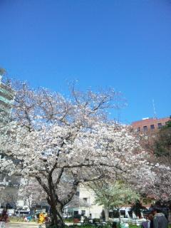 堀江公園の桜