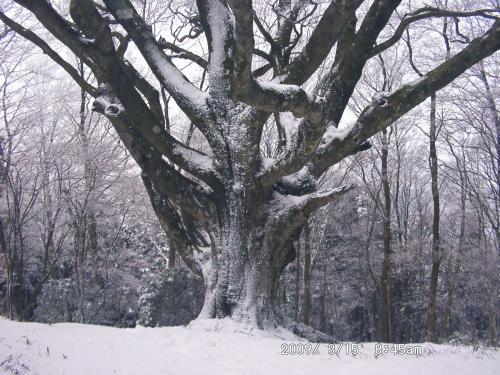 07 ブナの木