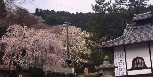 01 長谷寺のしだれ桜