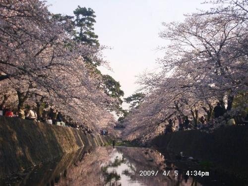 17 川面に垂れる桜