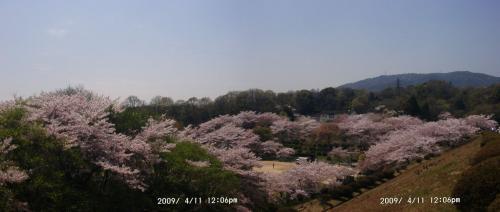 08 貯水池からの桜1