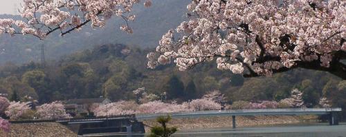 11 貯水池と桜