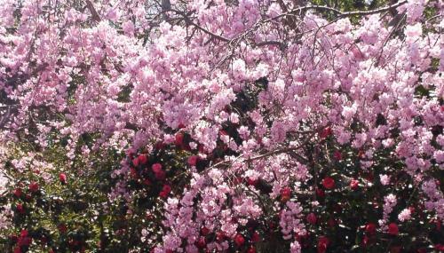 12 桜と椿1