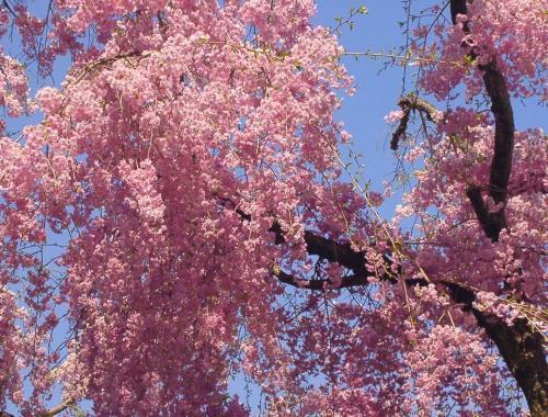 14 桜色