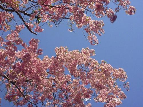 15 桜色2