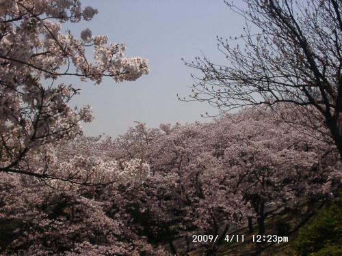 10 貯水池からの桜2