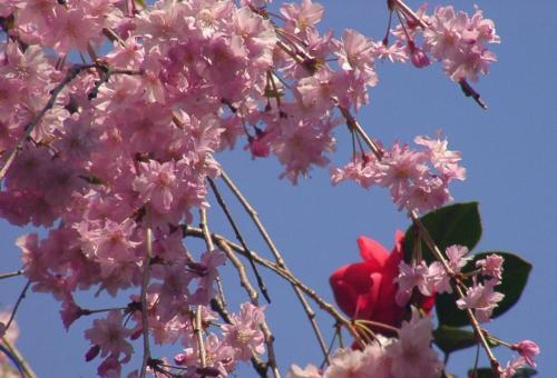 13 椿と桜2
