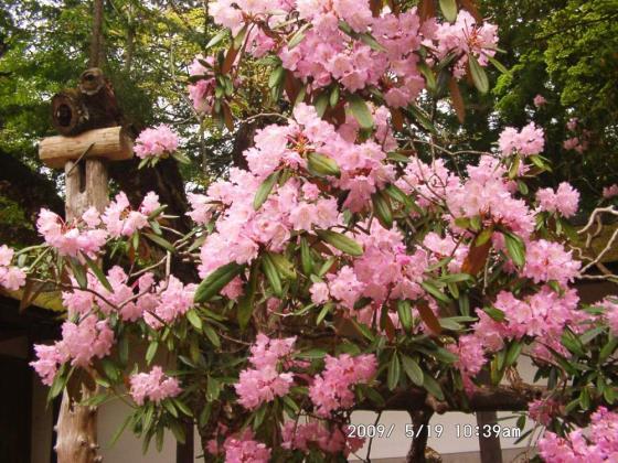 07 金剛峯寺境内のシャクナゲ