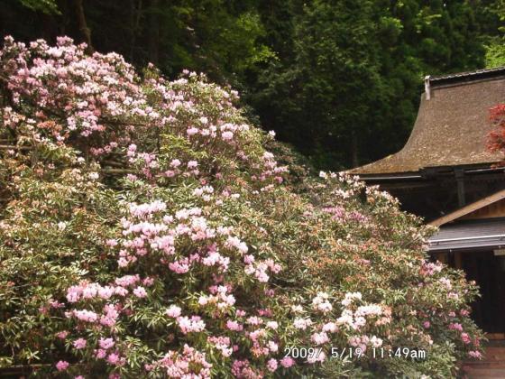 14 三昧院の大シャクナゲ