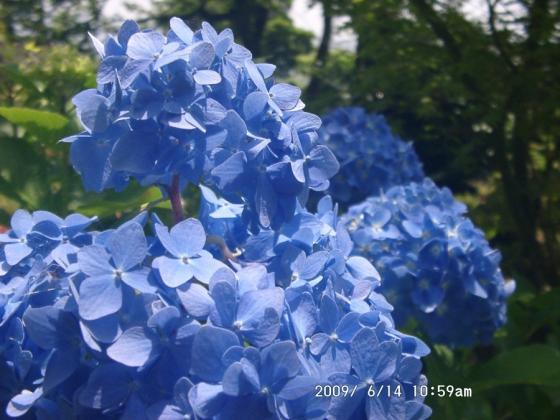 12 青いアジサイ