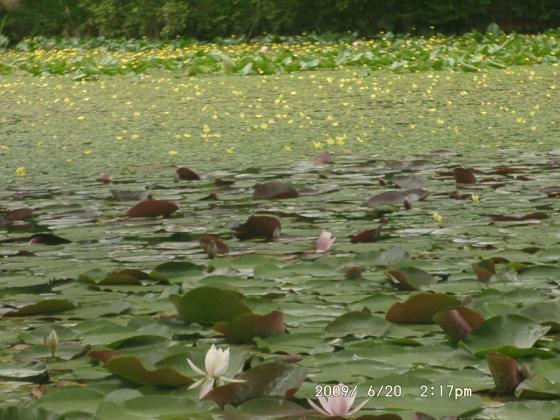 17 スイレンと黄色い花
