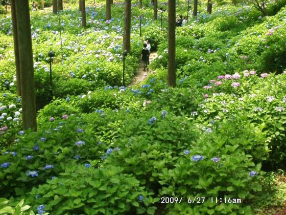 03 アジサイ庭園