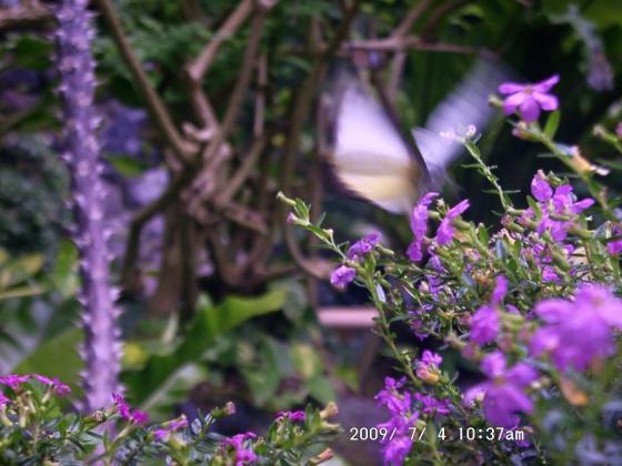 17 チョウの飛来