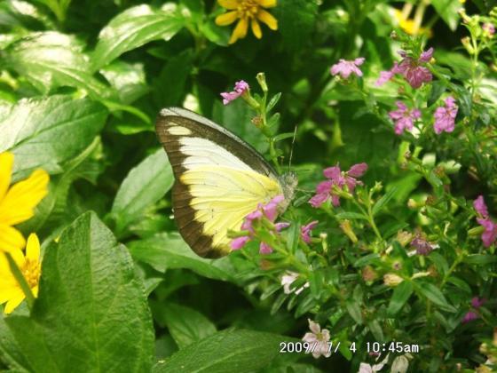 19 黄色い蝶