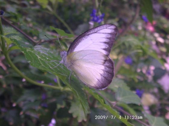 25 白い蝶