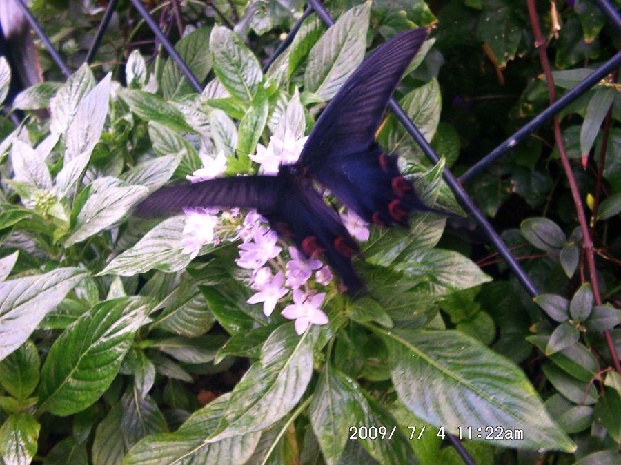 24-1 ジャコウアゲハが花へ