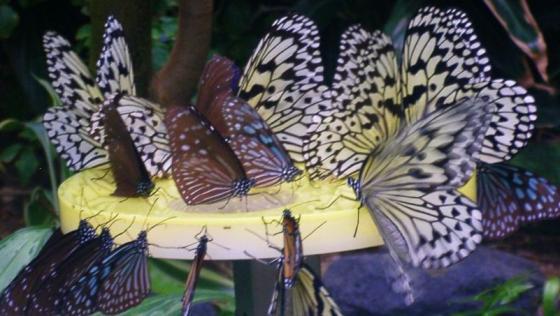 20 密台に集まる蝶