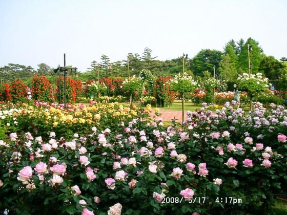 07 浜寺公園バラ園1