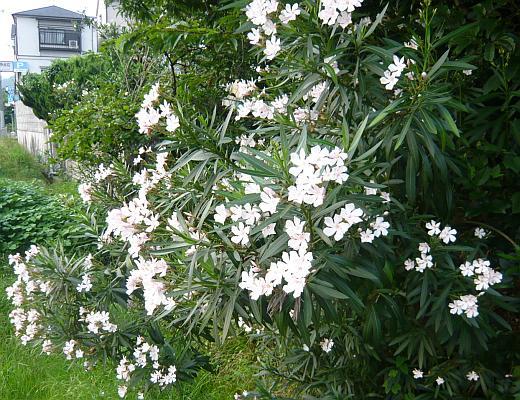 キョウチクトウの白い花