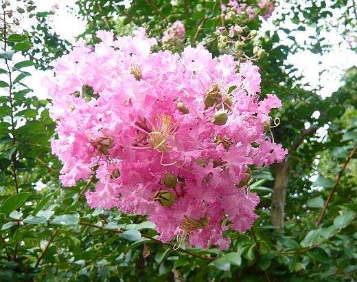 サルスベリの花2008