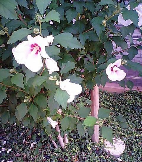 むくげの花2008