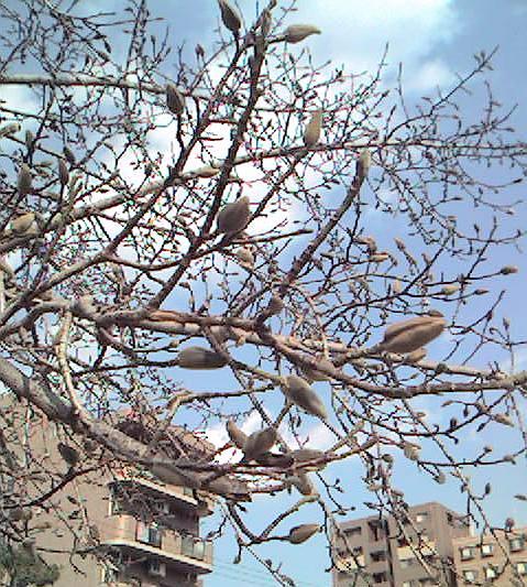コブシの芽
